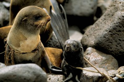 Photo: After trying unsuccessfully to disentangle a female Northern fur seal at a rookery with a hook fastened to a pole, biologists try to rope her pup in order to get her to hold still long enough for them to free her from the debris that will cause her death if she grows any more.