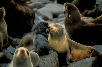 Photo: Northern fur seals (Vulnerable Red List status) at a rookery on St. George Island in the Pribilofs (Alaska).