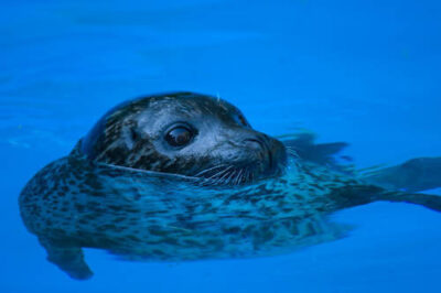 Photo: A harbor seal at the Lincoln Children's Zoo.