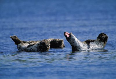 Photo: Harbor seals in the protective waters of Clam Lagoon.