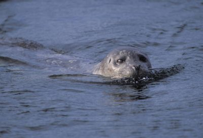 Photo: A harbor seal in the protective waters of Clam Lagoon.