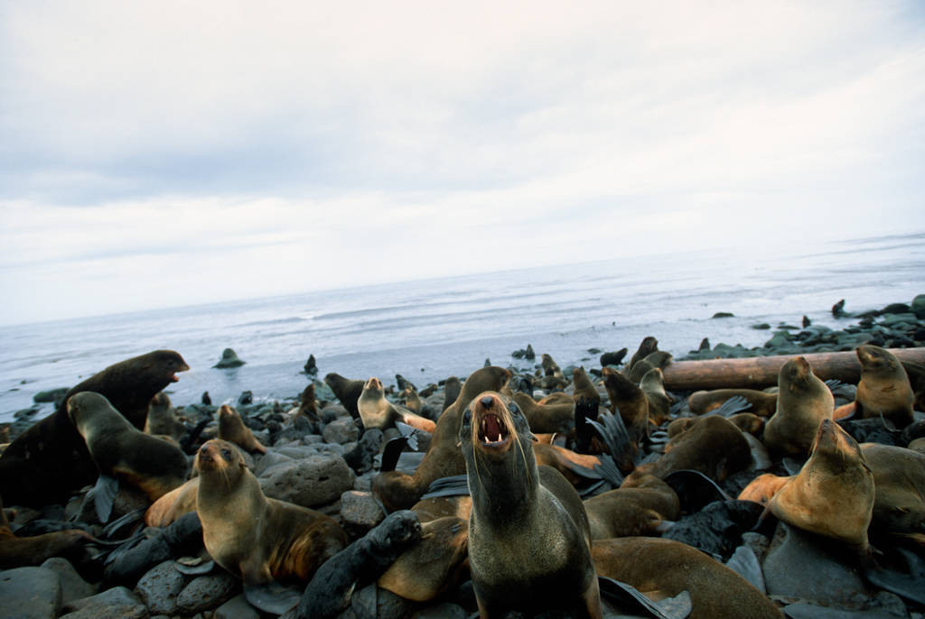 Photo: Northern fur seals (Callorhinus ursinus) at a rookery on St. Paul Island (Pribilofs), part of the Alaska Maritime NWR.