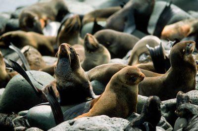 Photo: Northern fur seals (Callorhinus ursinus) at a rookery on St. Paul Island (Pribilofs), part of the Alaska Maritime NWR.