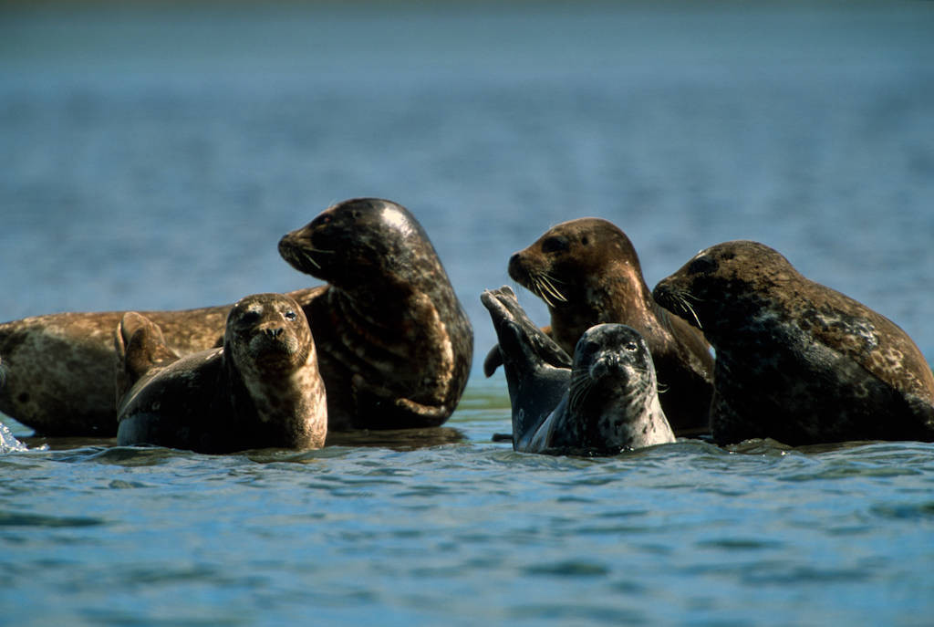 Photo: Harbor seals (Phoca vitulina) off of Adak Island (Pribilofs), part of the Alaska Maritime NWR.