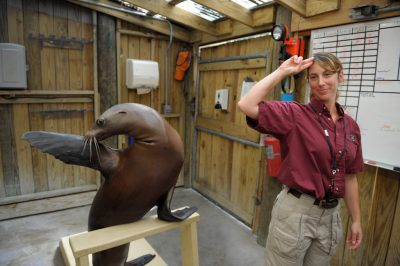 A California sea lion (Zalophus californianus) with its trainer at the Houston Zoo.