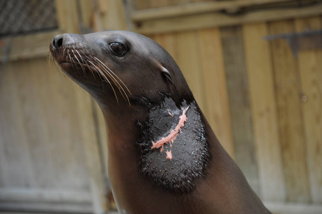 A young male California sea lion (Zalophus californianus) that was injured severely in the wild after being entangled in discarded ropes and garbage in the sea.