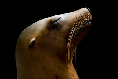Portrait of a California sea lion (Zalophus californianus).