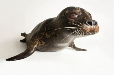 Photo: A Pacific common seal, Phoca vitulina richardsi, at the Blank Park Zoo in Des Moinses, Iowa.