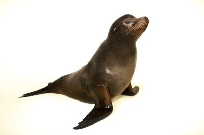 A California sea lion, Zalophus californianus.