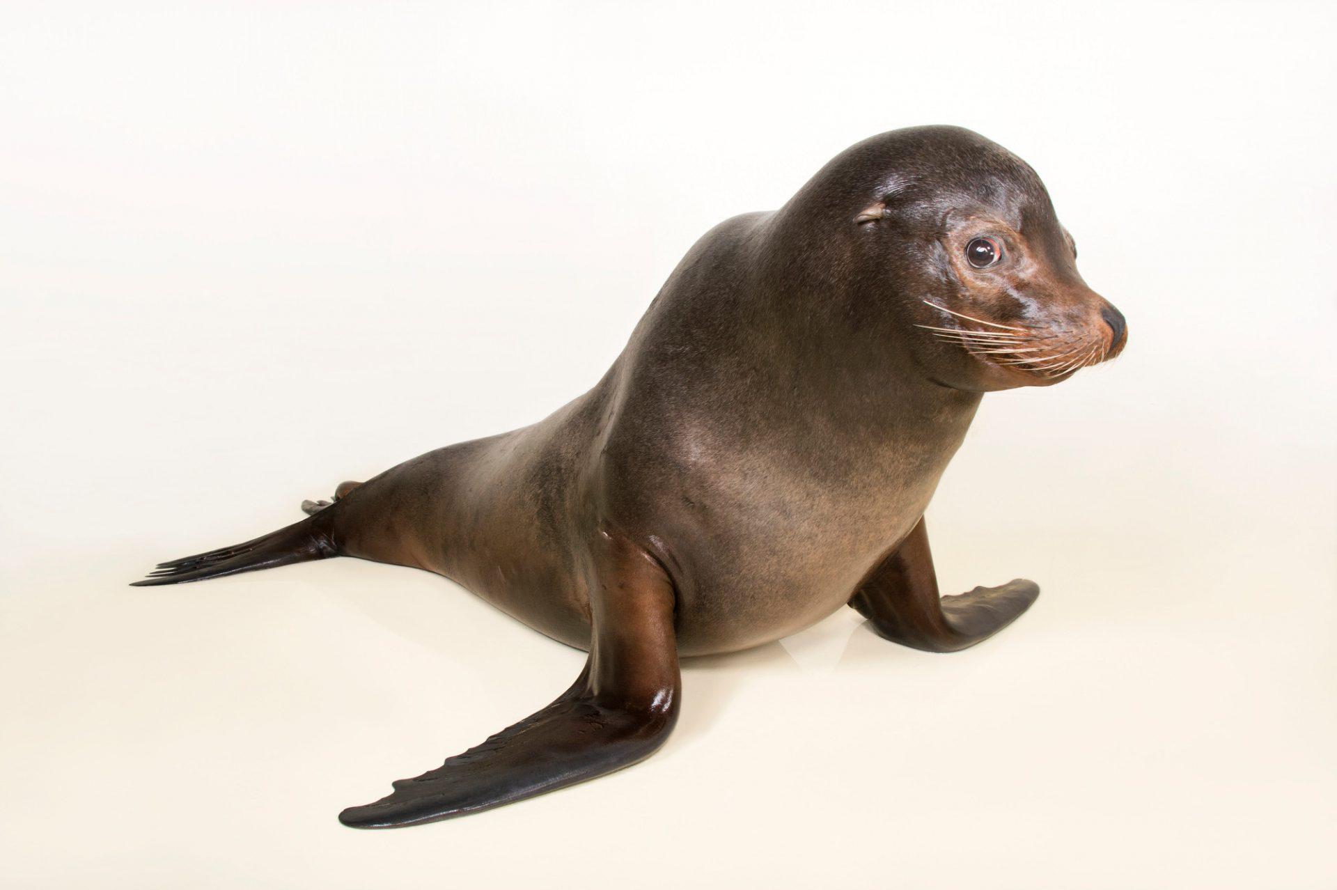 A California sea lion, Zalophus californianus.