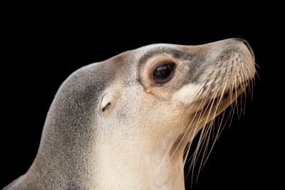Photo: An endangered female Australian sea lion (Neophoca Cinerea) named Lexie at the Taronga Zoo in Sydney, Australia.