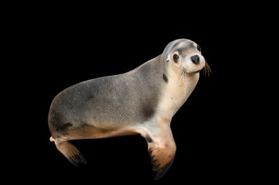 Photo: An endangered female Australian sea lion (Neophoca Cinerea) named Lexie at the Taronga Zoo in Sydney, Australia.