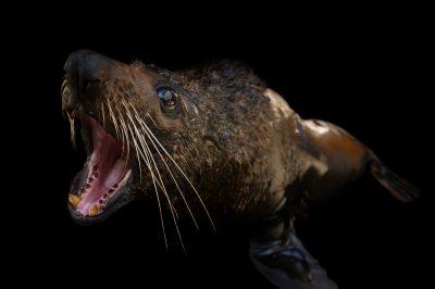 Photo: Maverick, a New Zealand fur seal (Arctocephalus forsteri) at the Taronga Zoo in Sydney, Australia.