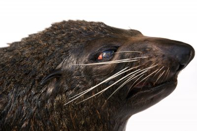 Photo: Maverick, a New Zealand fur seal (Arctocephalus forsteri) at the Taronga Zoo in Sydney, Australia.