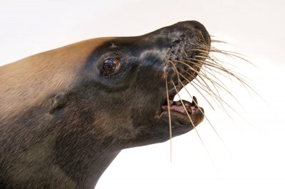 Photo: Malie, an endangered, 12-yr-old Australian sea lion (Neophoca cinerea) at the Taronga Zoo.