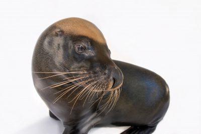 Photo: Malie, an endangered, 12-yr-old Australian sea lion (Neophoca cinerea) at the Taronga Zoo.