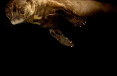 An endangered (IUCN) and federally endangered giant otter (Pteronura brasiliensis) at the Dallas World Aquarium.