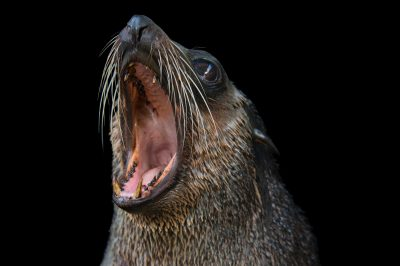 Picture of a subantarctic fur seal (Arctocephalus tropicalis) at the Auckland Zoo.
