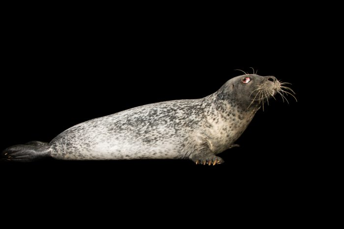 Picture of a western Atlantic harbor or common seal (Phoca vitulina concolor) at the Buttonwood Park Zoo in New Bedford, Massachusetts.