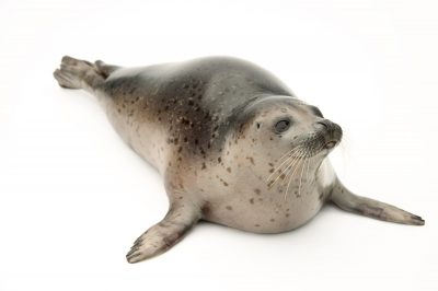 Photo: A spotted seal named Sura at the Alaska SeaLife Center in Seward, AK.