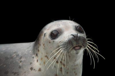 Photo: A spotted seal named Sura at the Alaska SeaLife Center in Seward, AK.