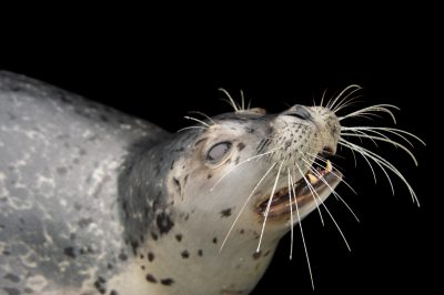 A harbor seal (Phoca vitulina) named Kobuk at the Alaska SeaLife Center in Seward, AK.
