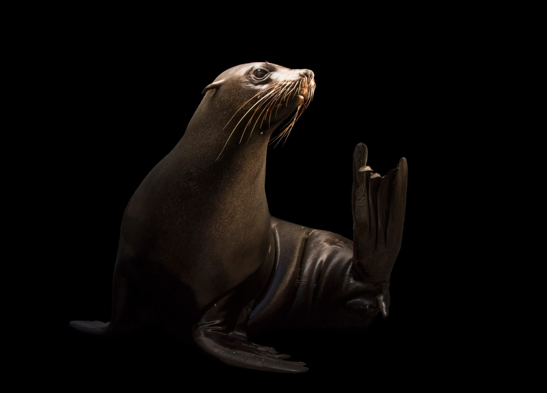 Photo: An Afro Australian fur seal (Arctocephalus pusillus) at the Faunia zoo in Madrid, Spain.