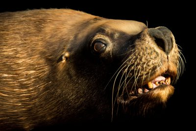 Photo: A male South American or Patagonian sea lion (Otaria flavescens) at the Madrid Zoo.