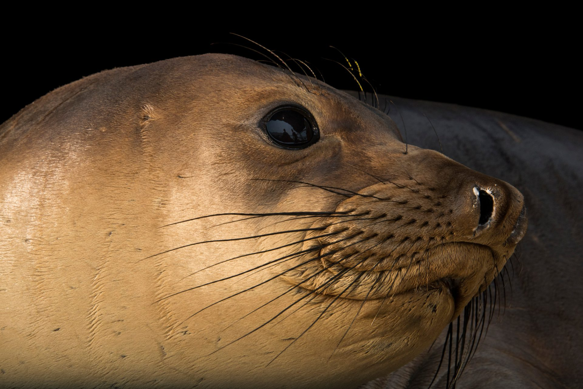 Photo: A male, juvenile, northern elephant seal (Mirounga angustirostris) at the Marine Mammal Care Center.
