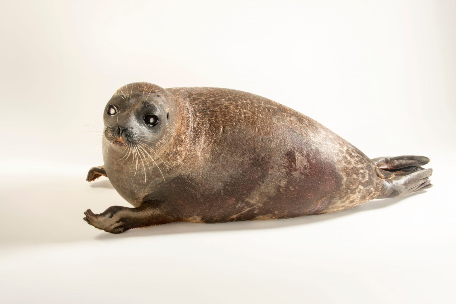 Photo: Pimniq, an 18-month-old ringed seal (Pusa hispida) at the Alaska SeaLife Center in Seward, AK.