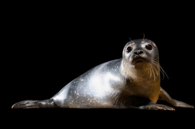 Photo: A harbor seal (Phoca vitulina vitulina) at the Berlin Zoo.