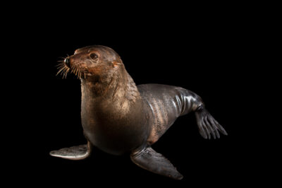 Photo: A Guadalupe fur seal (Arctocephalus townsendi) at SeaWorld San Diego.