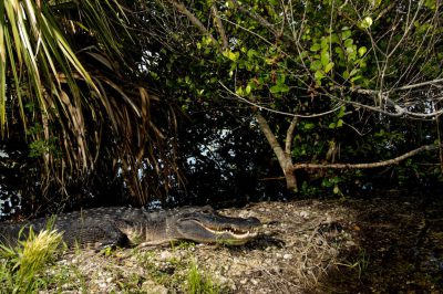 Photo: An American alligator rests along the Anhinga Tree at the Royal Palm rest area in Everglades National Park, Florida.