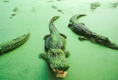Picture of a federally endangered, American alligator (Alligator mississippiensis) in Florida, near the Everglades.