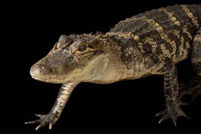 Picture of a federally endangered, American alligator (Alligator mississippiensis) at the Kansas City Zoo.