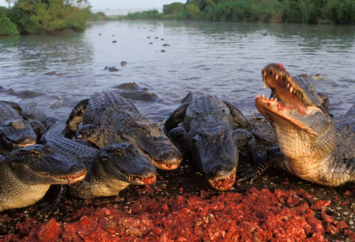 Photo: Alligators gorge themselves on bits of nutria, a swamp rodent.
