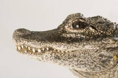 A critically endangered Chinese alligator (Alligator sinensis) at the Fresno Chaffe Zoo.