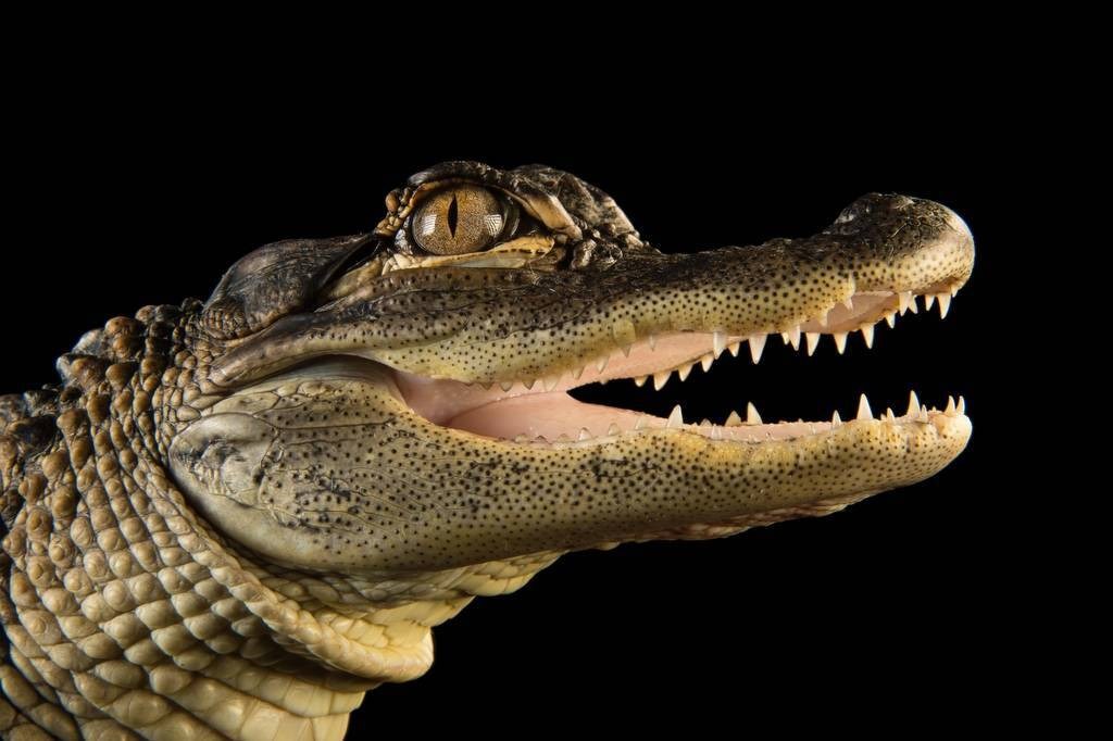 Photo: An alligator at the Lincoln Children's Zoo.