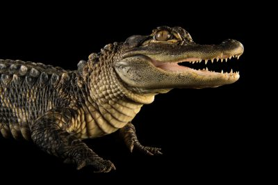 A federally endangered American alligator (Alligator mississippiensis) at the Lincoln Children's Zoo.