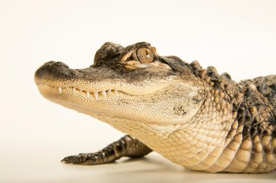 Calvin a federally endangered American alligator (Alligator mississippiensis) at the Lincoln Children's Zoo.