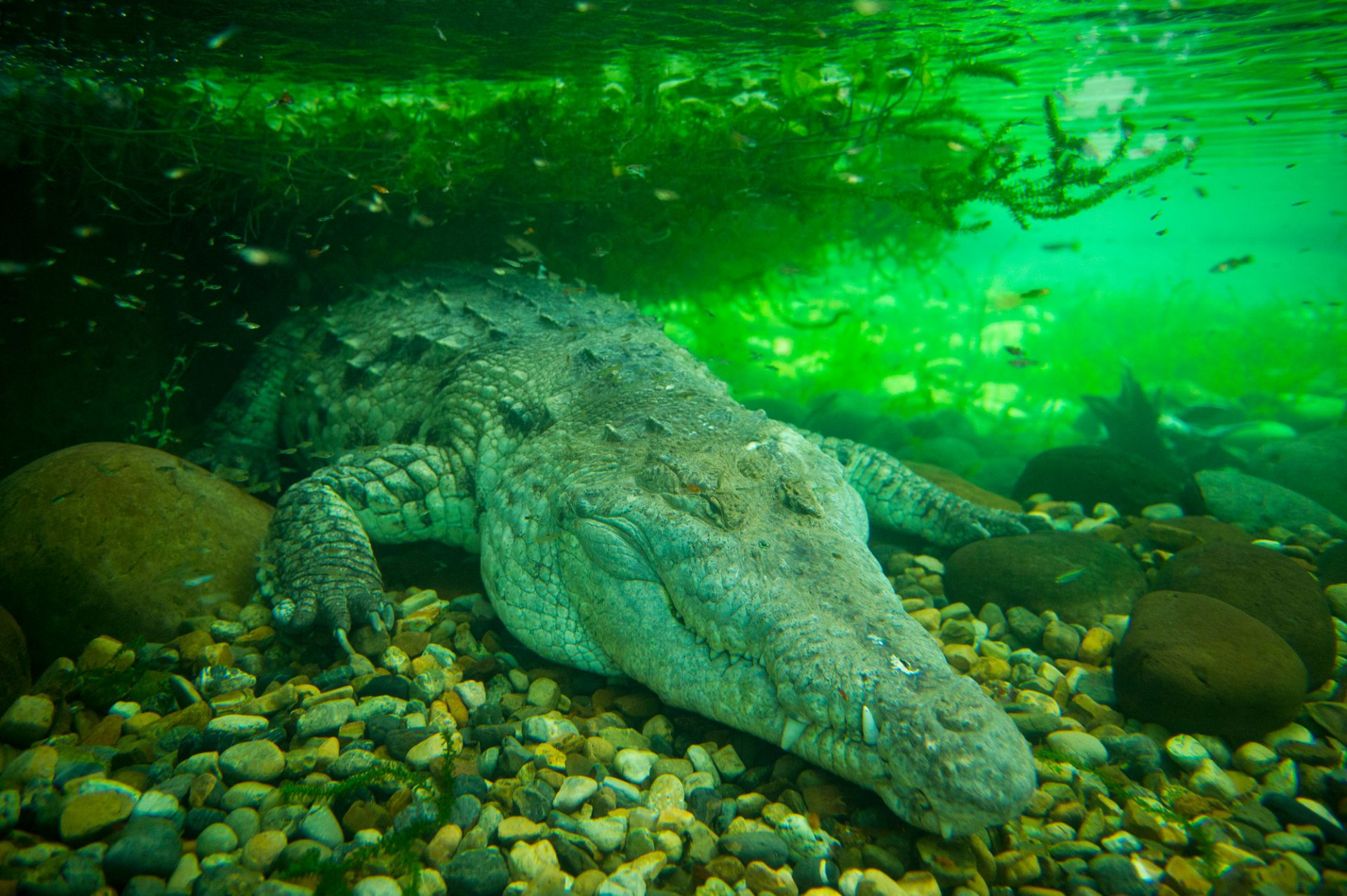 Photo: An Orinoco crocodile, Crocodiles intermedium, at the Piscilago Zoo in Colombia.