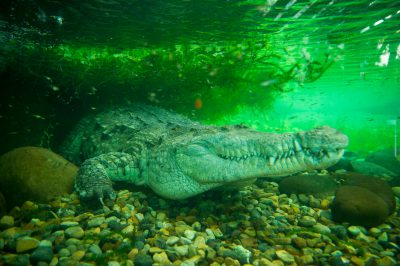 Photo: An Orinoco crocodile, Crocodiles intermedium, at the Piscilago Zoo in Colombia.