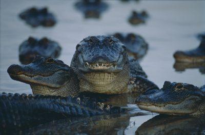 Photo: American alligators (Alligator mississippiensis) in swamp.