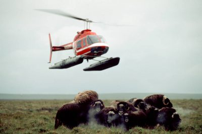 Photo: Musk oxen are surveyed by helicopter at Nunivak Island, part of the Yukon Delta NWR, Alaska.