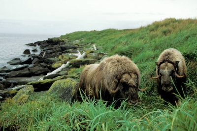 Photo: Musk oxen on Nunivak Island, part of the Yukon Delta NWR, Alaska.