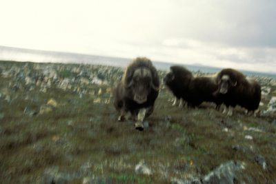 Photo: Irritated musk oxen charge the camera at Nunivak Island, part of the Yukon Delta NWR, Alaska.