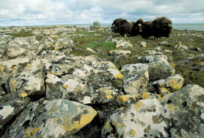 Photo: Musk oxen on Nunivak Island in the Bering Sea.