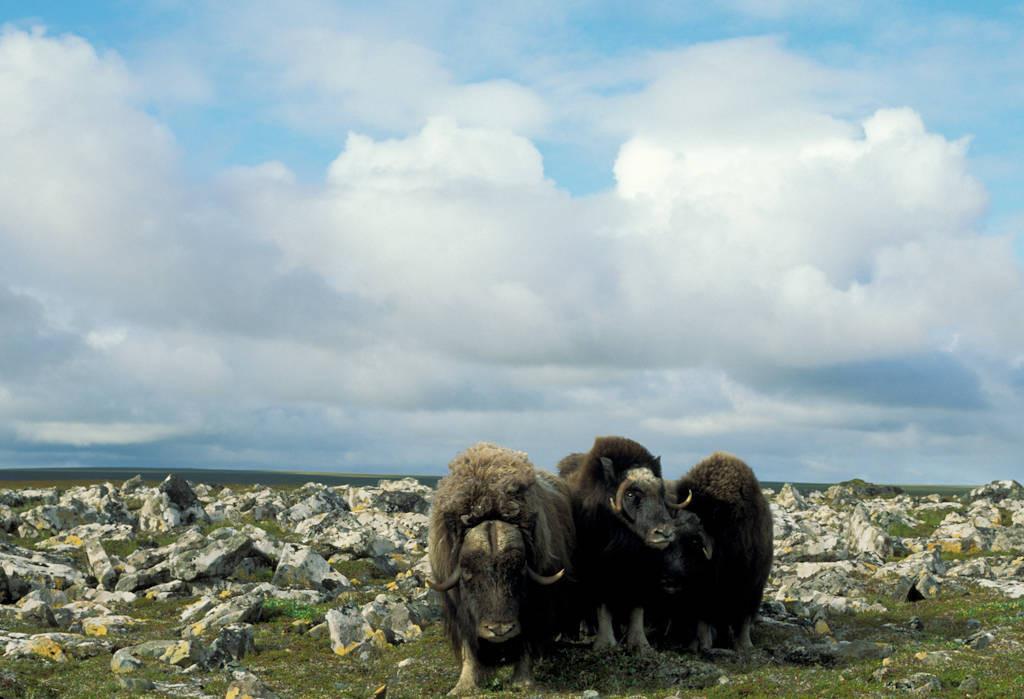 Photo: Musk oxen on Nunivak Island in the Bering Sea.