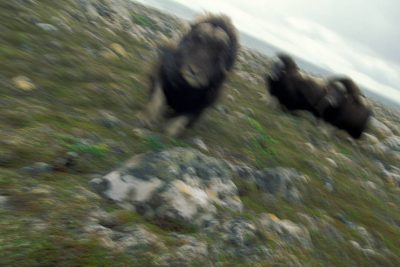 Photo: Irritated musk oxen charge the camera at Nunivak Island, part of the Yukon Delta NWR, Alaska.