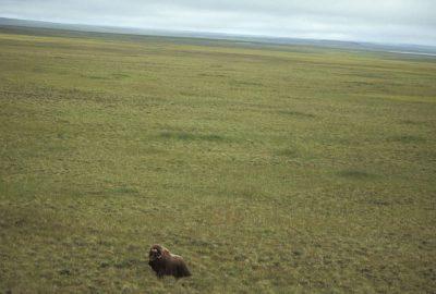 Photo: An aerial of a Musk Ox stranded on Nunivak Island, part of the Yukon Delta NWR, Alaska.